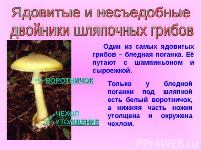 Ядовитые и несъедобные двойники шляпочных грибов Один из самых ядовитых грибов – бледная поганка. Её путают с шампиньоном и сыроежкой. Только у бледной поганки под шляпкой есть белый воротничок, а нижняя часть ножки утолщена и окружена чехлом.