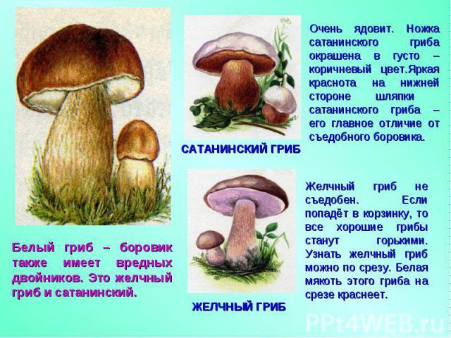 Белый гриб – боровик также имеет вредных двойников. Это желчный гриб и сатанинский. Очень ядовит. Ножка сатанинского гриба окрашена в густо – коричневый цвет.Яркая краснота на нижней стороне шляпки сатанинского гриба – его главное отличие от съедобн…