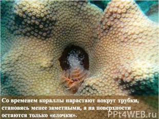Со временем кораллы нарастают вокруг трубки, становясь менее заметными, а на пов