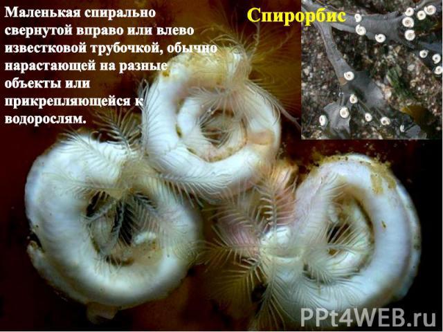 Спирорбис Маленькая спирально свернутой вправо или влево известковой трубочкой, обычно нарастающей на разные объекты или прикрепляющейся к водорослям.