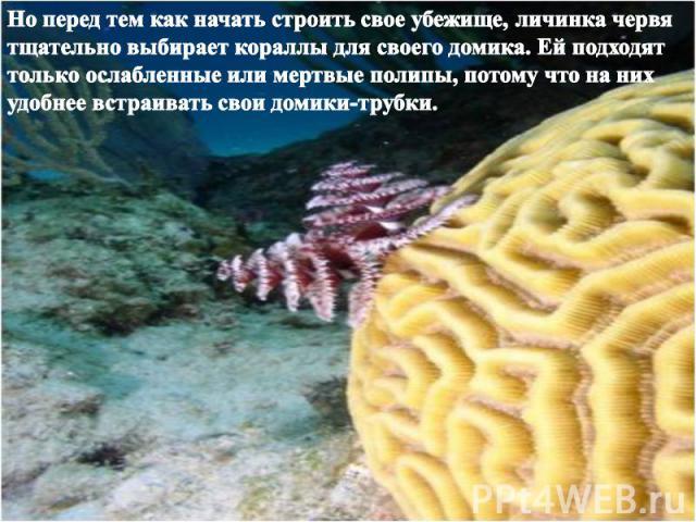 Но перед тем как начать строить свое убежище, личинка червя тщательно выбирает кораллы для своего домика. Ей подходят только ослабленные или мертвые полипы, потому что на них удобнее встраивать свои домики-трубки.