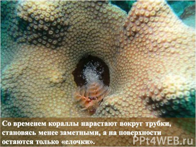 Со временем кораллы нарастают вокруг трубки, становясь менее заметными, а на поверхности остаются только «елочки».