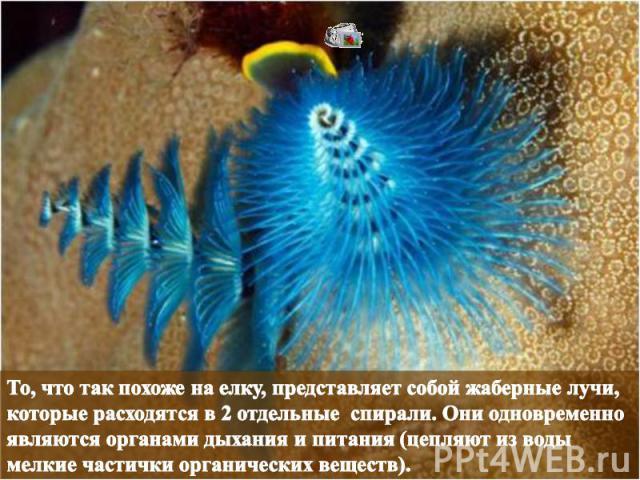 То, что так похоже на елку, представляет собой жаберные лучи, которые расходятся в 2 отдельные спирали. Они одновременно являются органами дыхания и питания (цепляют из воды мелкие частички органических веществ).
