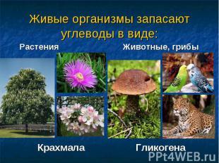 Живые организмы запасают углеводы в виде: Растения Животные, грибы Крахмала Глик