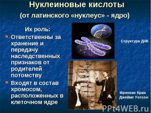 Нуклеиновые кислоты (от латинского «нуклеус» - ядро) Их роль: Ответственны за хр