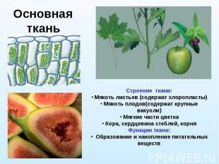 Основная ткань Строение ткани: Мякоть листьев (содержат хлоропласты) Мякоть плод