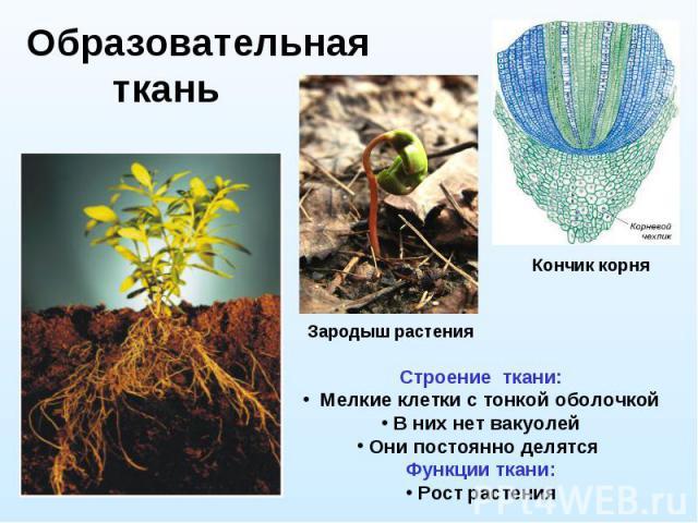 Образовательная ткань Строение ткани: Мелкие клетки с тонкой оболочкой В них нет вакуолей Они постоянно делятся Функции ткани: Рост растения