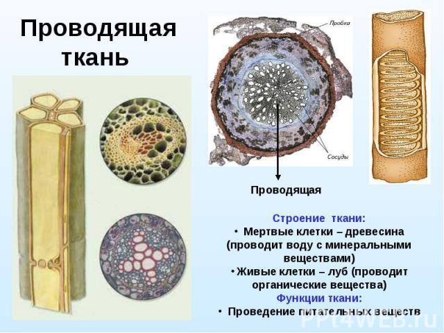 Проводящая ткань Строение ткани: Мертвые клетки – древесина (проводит воду с минеральными веществами) Живые клетки – луб (проводит органические вещества) Функции ткани: Проведение питательных веществ