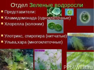 Отдел Зеленые водоросли Представители: Хламидомонада (одноклеточные) Хлорелла (к