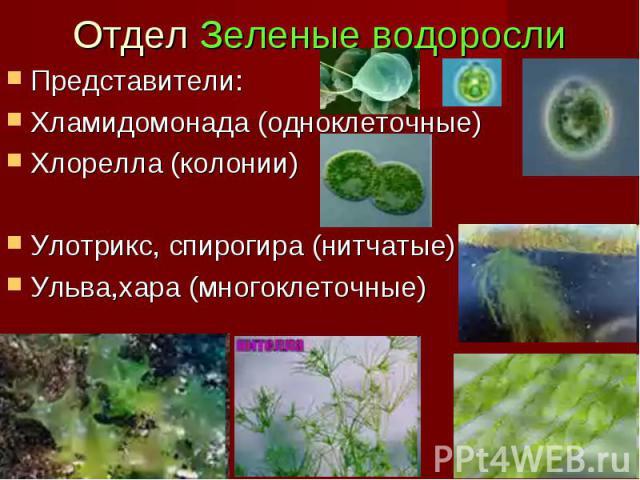 Отдел Зеленые водоросли Представители: Хламидомонада (одноклеточные) Хлорелла (колонии) Улотрикс, спирогира (нитчатые) Ульва,хара (многоклеточные)