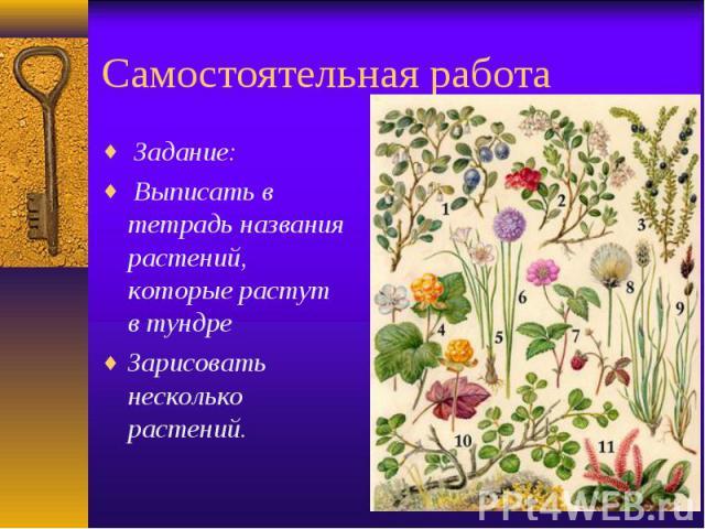 Самостоятельная работа Задание: Выписать в тетрадь названия растений, которые растут в тундре Зарисовать несколько растений.