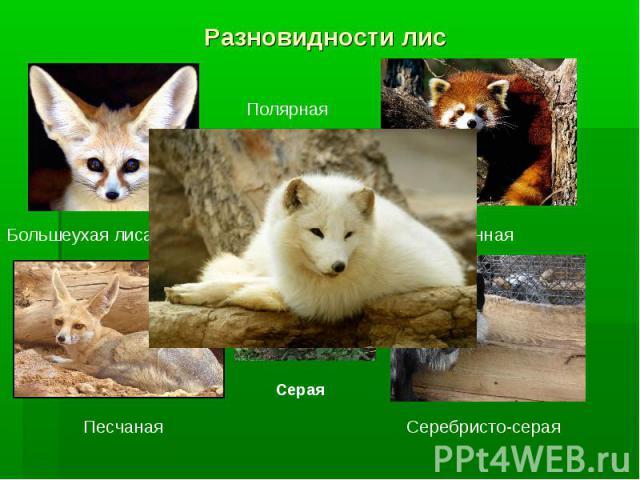 Разновидности лис Полярная Большеухая лиса - фенек Песчаная Серая Огненная