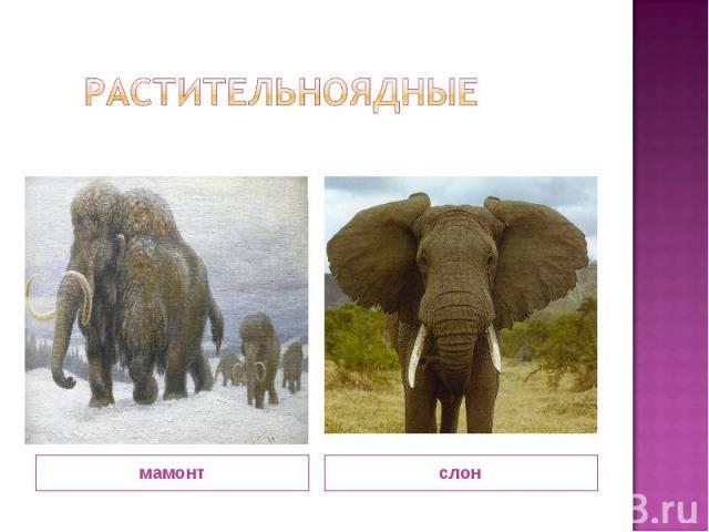Растительноядные мамонт слон