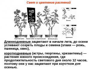 Свет и цветение растений Длиннодневные зацветают в начале лета, до осени успеваю