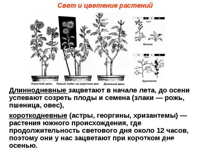 Свет и цветение растений Длиннодневные зацветают в начале лета, до осени успевают созреть плоды и семена (злаки — рожь, пшеница, овес), короткодневные (астры, георгины, хризантемы) — растения южного происхождения, где продолжительность светового дня…