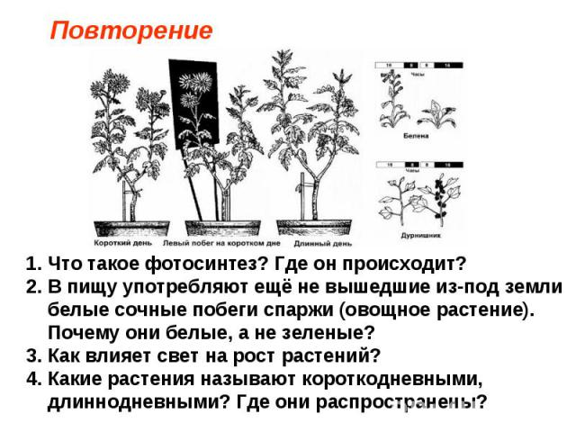 Повторение Что такое фотосинтез? Где он происходит? В пищу употребляют ещё не вышедшие из-под земли белые сочные побеги спаржи (овощное растение). Почему они белые, а не зеленые? Как влияет свет на рост растений? Какие растения называют короткодневн…