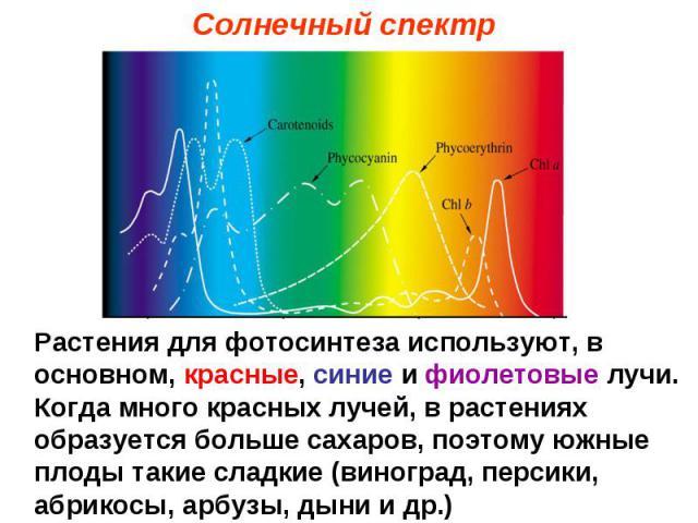Солнечный спектр Растения для фотосинтеза используют, в основном, красные, синие и фиолетовые лучи. Когда много красных лучей, в растениях образуется больше сахаров, поэтому южные плоды такие сладкие (виноград, персики, абрикосы, арбузы, дыни и др.)