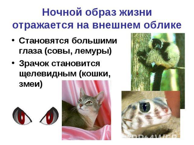 Ночной образ жизни отражается на внешнем облике Становятся большими глаза (совы, лемуры) Зрачок становится щелевидным (кошки, змеи)