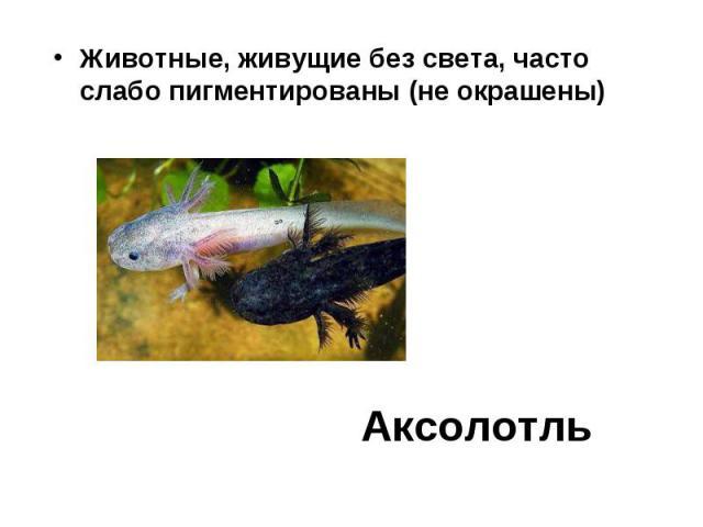 Животные, живущие без света, часто слабо пигментированы (не окрашены) Аксолотль