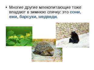 Многие другие млекопитающие тоже впадают в зимнюю спячку: это сони, ежи, барсуки