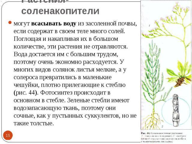 Растения-соленакопители могут всасывать воду из засоленной почвы, если содержат в своем теле много солей. Поглощая и накапливая их в большом количестве, эти растения не отравляются. Вода достается им с большим трудом, поэтому очень экономно расходуе…