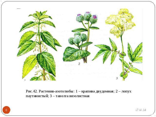 Рис.42. Растения-азотолюбы: 1 – крапива двудомная; 2 – лопух паутинистый; 3 – таволга вязолистная