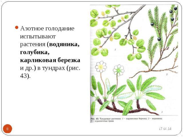 Азотное голодание испытывают растения (водяника, голубика, карликовая березка и др.) в тундрах (рис. 43).