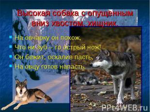 Высокая собака с опущенным вниз хвостом, хищник. На овчарку он похож, Что ни зуб