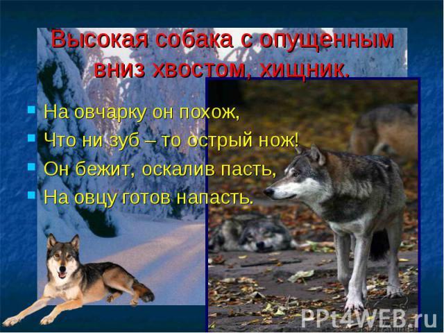Высокая собака с опущенным вниз хвостом, хищник. На овчарку он похож, Что ни зуб – то острый нож! Он бежит, оскалив пасть, На овцу готов напасть.
