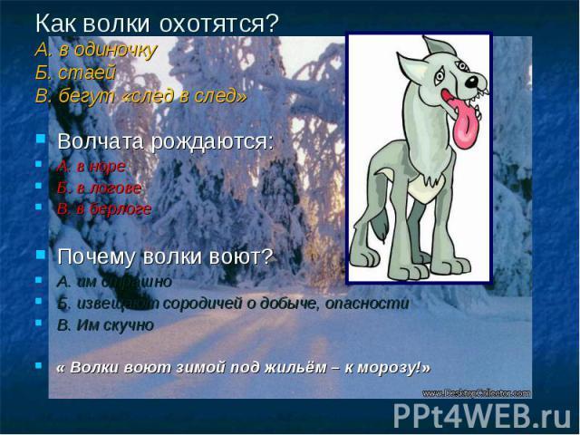 Как волки охотятся? А. в одиночку Б. стаей В. бегут «след в след» Волчата рождаются: А. в норе Б. в логове В. в берлоге Почему волки воют? А. им страшно Б. извещают сородичей о добыче, опасности В. Им скучно « Волки воют зимой под жильём – к морозу!»