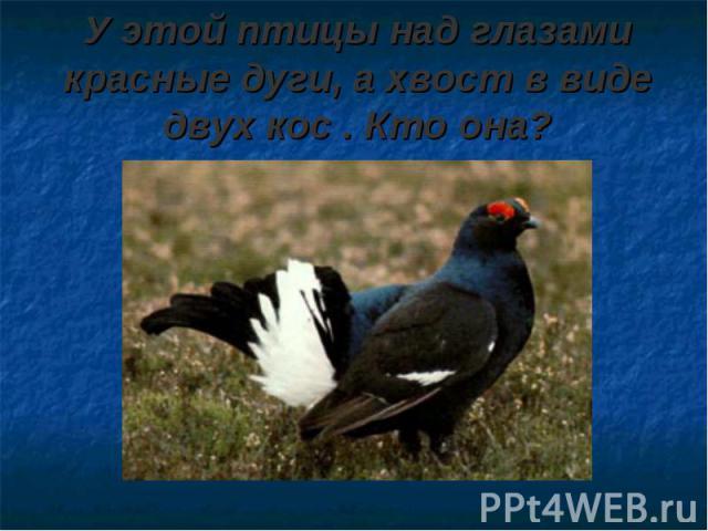 У этой птицы над глазами красные дуги, а хвост в виде двух кос . Кто она?