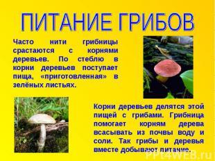 ПИТАНИЕ ГРИБОВ Часто нити грибницы срастаются с корнями деревьев. По стеблю в ко