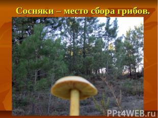Сосняки – место сбора грибов.