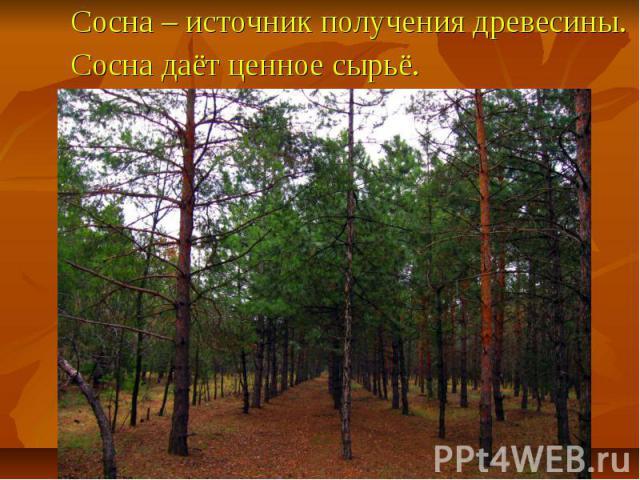 Сосна – источник получения древесины. Сосна даёт ценное сырьё.