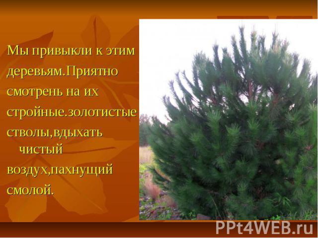 Мы привыкли к этим деревьям.Приятно смотрень на их стройные.золотистые стволы,вдыхать чистый воздух,пахнущий смолой.
