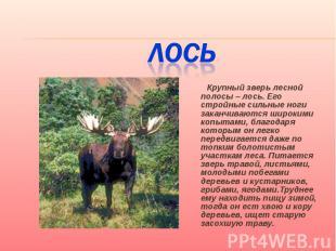 Лось Крупный зверь лесной полосы – лось. Его стройные сильные ноги заканчиваются