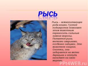 Рысь Рысь – млекопитающее рода кошек. Густой подшерсток помогает этим животным п