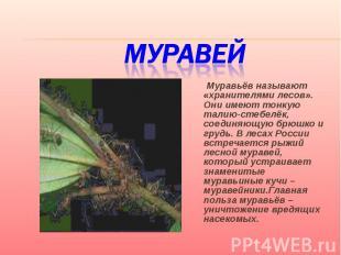Муравей Муравьёв называют «хранителями лесов». Они имеют тонкую талию-стебелёк,