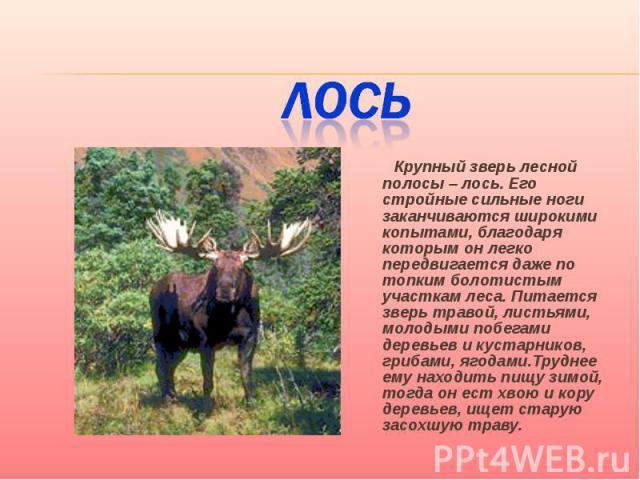 Лось Крупный зверь лесной полосы – лось. Его стройные сильные ноги заканчиваются широкими копытами, благодаря которым он легко передвигается даже по топким болотистым участкам леса. Питается зверь травой, листьями, молодыми побегами деревьев и куста…