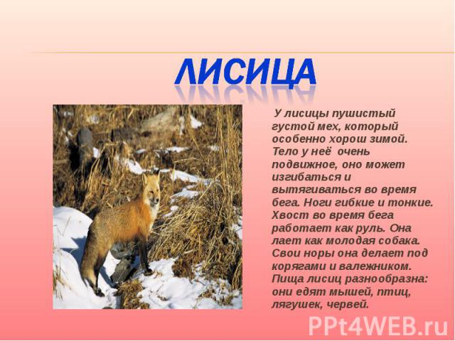 Лисица У лисицы пушистый густой мех, который особенно хорош зимой. Тело у неё очень подвижное, оно может изгибаться и вытягиваться во время бега. Ноги гибкие и тонкие. Хвост во время бега работает как руль. Она лает как молодая собака. Свои норы она…