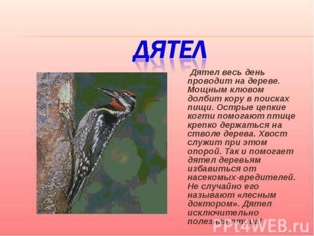 Дятел Дятел весь день проводит на дереве. Мощным клювом долбит кору в поисках пищи. Острые цепкие когти помогают птице крепко держаться на стволе дерева. Хвост служит при этом опорой. Так и помогает дятел деревьям избавиться от насекомых-вредителей.…