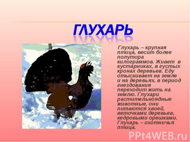 Глухарь Глухарь – крупная птица, весит более полутора килограммов. Живет в кустарниках, в густых кронах деревьев. Еду отыскивает на земле и на деревьях, в период гнездования переходит жить на землю. Глухари растительноядные животные, они питаются хв…
