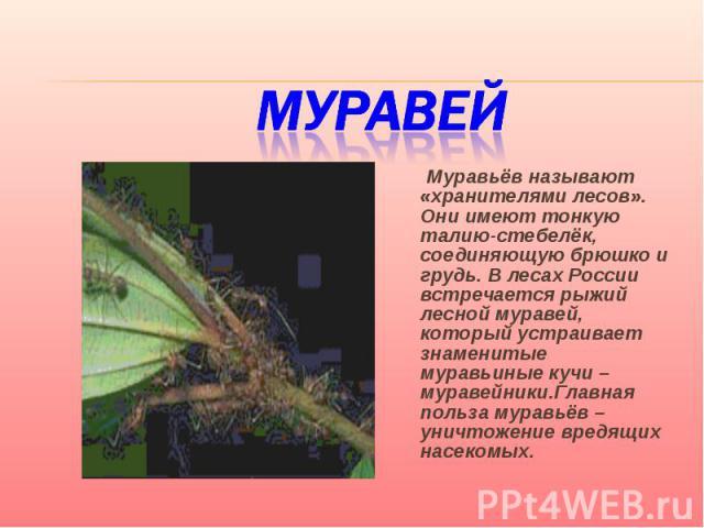 Муравей Муравьёв называют «хранителями лесов». Они имеют тонкую талию-стебелёк, соединяющую брюшко и грудь. В лесах России встречается рыжий лесной муравей, который устраивает знаменитые муравьиные кучи – муравейники.Главная польза муравьёв – уничто…