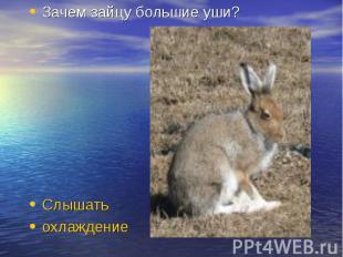 Зачем зайцу большие уши? Слышать охлаждение