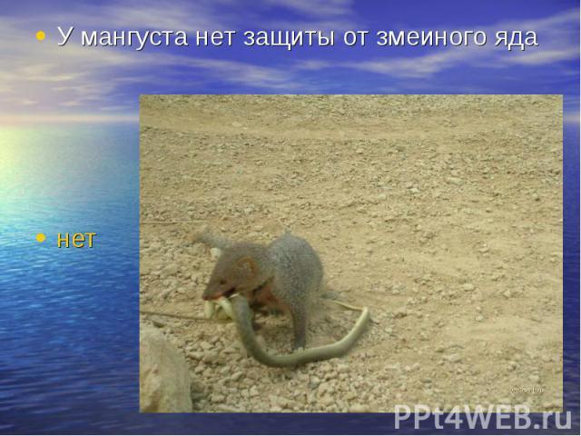 У мангуста нет защиты от змеиного яда нет