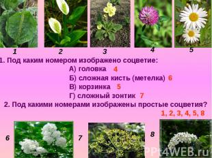 1. Под каким номером изображено соцветие: А) головка Б) сложная кисть (метелка)