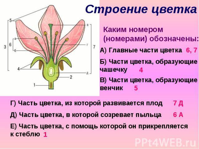 Строение цветка Каким номером (номерами) обозначены: А) Главные части цветка Б) Части цветка, образующие чашечку В) Части цветка, образующие венчик Г) Часть цветка, из которой развивается плод Д) Часть цветка, в которой созревает пыльца Е) Часть цве…