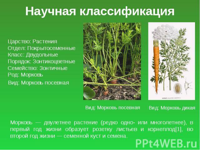 Научная классификация Царство: Растения Отдел: Покрытосеменные Класс: Двудольные Порядок: Зонтикоцветные Семейство: Зонтичные Род: Морковь Вид: Морковь посевная Морковь — двулетнее растение (редко одно- или многолетнее), в первый год жизни образует …