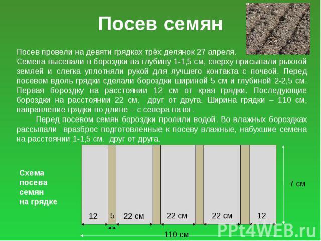 Посев семян Посев провели на девяти грядках трёх делянок 27 апреля. Семена высевали в бороздки на глубину 1-1,5 см, сверху присыпали рыхлой землей и слегка уплотняли рукой для лучшего контакта с почвой. Перед посевом вдоль грядки сделали бороздки ши…