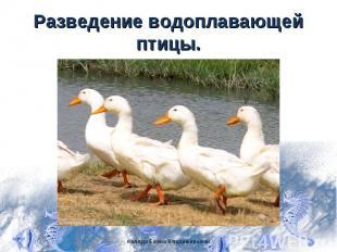 Разведение водоплавающей птицы.